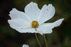 Ενιαίο άσπρο λουλούδι cosmo στη φύση στοκ εικόνες