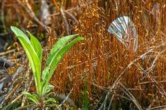 Ενιαίο άσπρο φτερό πεταλούδων που στηρίζεται μεταξύ των μίσχων Στοκ Φωτογραφίες