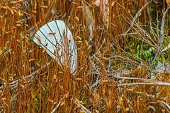 Ενιαίο άσπρο φτερό πεταλούδων που στηρίζεται μεταξύ των μίσχων Στοκ Εικόνες