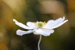 Ενιαίο άσπρο Anemone Στοκ φωτογραφία με δικαίωμα ελεύθερης χρήσης