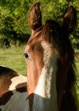Ενιαίο άλογο στον ήλιο Στοκ φωτογραφία με δικαίωμα ελεύθερης χρήσης