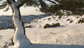 Ενιαίο δέντρο με το χιόνι Στοκ Εικόνες