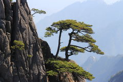 Ενιαίο δέντρο στο huangshan βουνό Στοκ Φωτογραφία