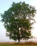 ενιαίο δέντρο Στοκ Φωτογραφία