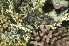 Ενιαίο γιγαντιαίο μαλάκιο στη Ερυθρά Θάλασσα Στοκ Εικόνες
