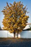 ενιαίο δέντρο φύλλων φθιν&omic Στοκ εικόνα με δικαίωμα ελεύθερης χρήσης
