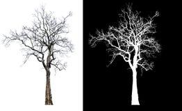Ενιαίο δέντρο χωρίς φύλλο με το ψαλίδισμα της πορείας στοκ φωτογραφίες με δικαίωμα ελεύθερης χρήσης