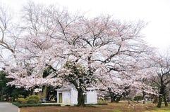Ενιαίο δέντρο sakura στο πλήρες άνθος Στοκ Εικόνες