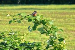 Ενιαίο ερυθρόλαιμο Meadowlark στοκ φωτογραφία με δικαίωμα ελεύθερης χρήσης