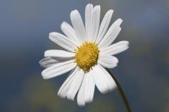 ενιαίο λευκό μαργαριτών Στοκ Φωτογραφίες