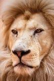 Ενιαίο λιοντάρι που φαίνεται βασιλοπρεπής στάση υπερήφανα στοκ εικόνα με δικαίωμα ελεύθερης χρήσης
