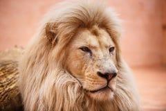 Ενιαίο λιοντάρι που φαίνεται βασιλοπρεπής στάση υπερήφανα στοκ εικόνα
