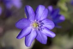 Ενιαίο ιώδες hepatica Anemone λουλουδιών άνοιξη στον κήπο Στοκ Φωτογραφία