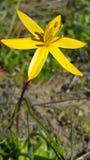 Ενιαίο κίτρινο άγριο λουλούδι Στοκ φωτογραφία με δικαίωμα ελεύθερης χρήσης