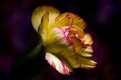 Ενιαίο κίτρινο γαρίφαλο Στοκ Εικόνες