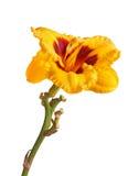 Ενιαίο κίτρινο και κόκκινο λουλούδι daylily απομονωμένη Στοκ Εικόνες