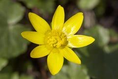 Ενιαίο κίτρινο hepatica Anemone λουλουδιών άνοιξη στον κήπο Στοκ Φωτογραφίες