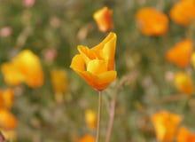 Ενιαίο κατσαρωμένο λουλούδι παπαρουνών Καλιφόρνιας στοκ φωτογραφίες