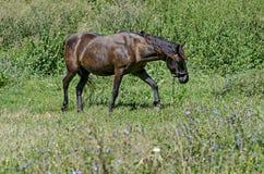 Ενιαίο καφετί άλογο στο θερινό πράσινο λιβάδι Στοκ Εικόνες