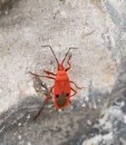 Ενιαίο κόκκινο ζωύφιο καπόκ που αναρριχείται στο βράχο (nigricorni Probergrothius Στοκ φωτογραφία με δικαίωμα ελεύθερης χρήσης