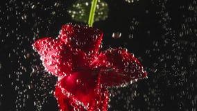 Ενιαίο κόκκινο λουλούδι με τις φυσαλίδες σε το κάτω από το νερό στο μαύρο υπόβαθρο Υποβρύχια ομορφιά Έννοια λουλουδιών απόθεμα βίντεο