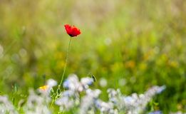 Ενιαίο κόκκινο λουλούδι παπαρουνών στον πράσινο τομέα Στοκ Εικόνες