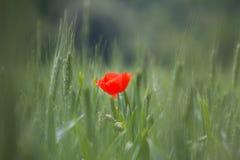 Ενιαίο κόκκινο λουλούδι παπαρουνών στοκ φωτογραφία