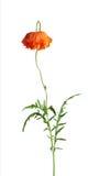 Ενιαίο κόκκινο λουλούδι παπαρουνών με τα πράσινα φύλλα που απομονώνονται στο άσπρο υπόβαθρο Στοκ φωτογραφία με δικαίωμα ελεύθερης χρήσης
