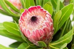 Ενιαίο κόκκινο λουλούδι protea Στοκ εικόνα με δικαίωμα ελεύθερης χρήσης