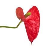 Ενιαίο κόκκινο anthurium λουλούδι που απομονώνεται στο λευκό Στοκ Φωτογραφίες