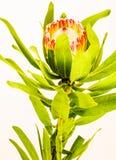 Ενιαίο κόκκινο Protea Στοκ εικόνα με δικαίωμα ελεύθερης χρήσης
