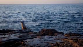 Ενιαίο λιοντάρι θάλασσας που προσέχει το ηλιοβασίλεμα στοκ εικόνες