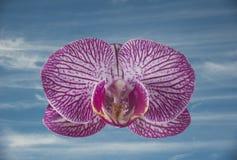 Ενιαίο λουλούδι ορχιδεών Phalaenopsis με ένα υπόβαθρο μπλε ουρανού Στοκ εικόνα με δικαίωμα ελεύθερης χρήσης