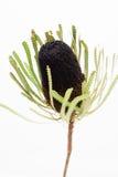 Ενιαίο μαύρο λουλούδι banksia Στοκ Εικόνα