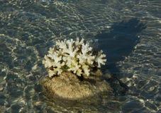 Ενιαίο μικρό κοράλλι στην πέτρα πέρα από το νερό στοκ φωτογραφίες με δικαίωμα ελεύθερης χρήσης