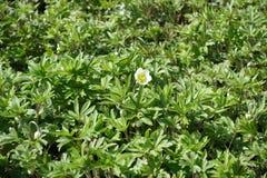 Ενιαίο μισό-ανοιγμένο λουλούδι του anemone snowdrop Στοκ φωτογραφίες με δικαίωμα ελεύθερης χρήσης