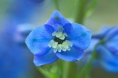 Ενιαίο μπλε λουλούδι delphinium Στοκ Φωτογραφίες