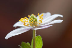 Ενιαίο ξύλινο anemone, καφετί υπόβαθρο Στοκ Εικόνες