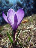 Ενιαίο λουλούδι κρόκων ανοίξεων Στοκ εικόνα με δικαίωμα ελεύθερης χρήσης
