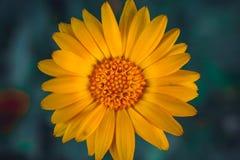 Ενιαίο λουλούδι μαργαριτών στο λιβάδι Στοκ Φωτογραφία