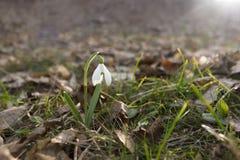 Ενιαίο λουλούδι snowdrop στο δάσος Στοκ Φωτογραφία