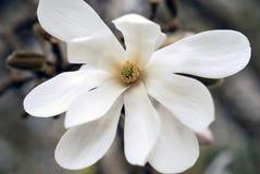 Ενιαίο λουλούδι stellata Magnolia Στοκ Φωτογραφία