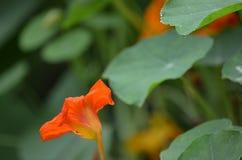 Ενιαίο πορτοκάλι λουλουδιών το καλοκαίρι Στοκ Φωτογραφίες