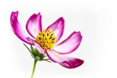 """Ενιαίο πορφυρό ρόδινο άγριο bipinnatus κόσμου Flower† κόσμου λουλουδιών """"Wild που ανθίζει κατά τη διάρκεια της μακρο λεπτομέ στοκ εικόνες με δικαίωμα ελεύθερης χρήσης"""