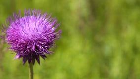 Ενιαίο πορφυρό χνουδωτό λουλούδι απόθεμα βίντεο