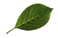 Ενιαίο πράσινο φύλλο του κερασιού που απομονώνεται στο άσπρο υπόβαθρο, κατώτατη πλευρά του φύλλου στοκ εικόνες