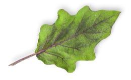 Ενιαίο πράσινο φύλλο της μελιτζάνας στοκ εικόνες