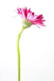Ενιαίο ροζ λουλουδιών gerbera που απομονώνεται στο λευκό Στοκ Εικόνα