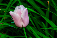 Ενιαίο ρόδινο λουλούδι τουλιπών Στοκ Φωτογραφίες