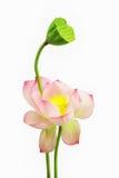 Ενιαίο ρόδινο λουλούδι λωτού νερού που απομονώνεται στο άσπρο υπόβαθρο Στοκ Εικόνες